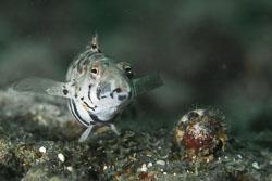 BD-160101-Malapasqua-1791-Parapercis-sp.-Bleeker.-1863-[Sandperch].jpg